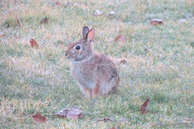 Rabbit in my yard this morning Feb 23 2016 (800x533)