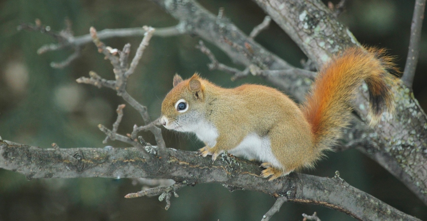 Red squirrel in crab apple tree.JPG