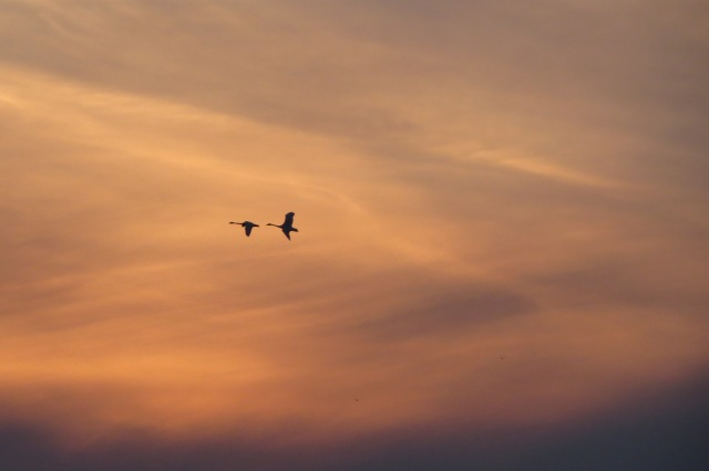Swans flying through the sky at sunset - Magee Marsh Feb 23 2016