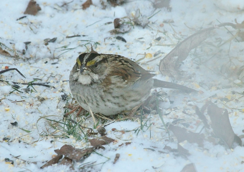 White-throated Sparrow - partly blurred by window (800x566)