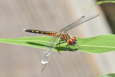 Blue Dasher female (800x534)