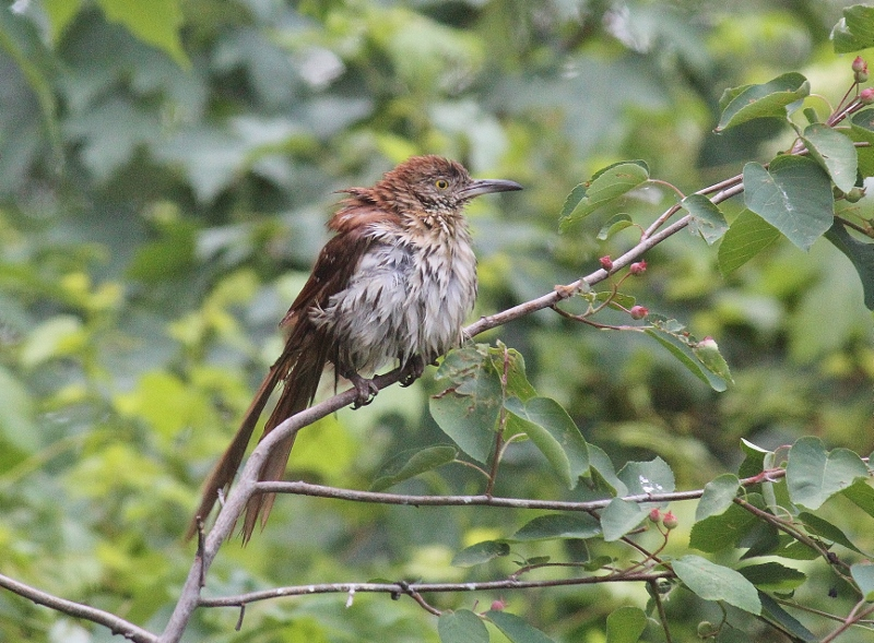 Brown Thrasher after bathing at BSBO pond (800x589)