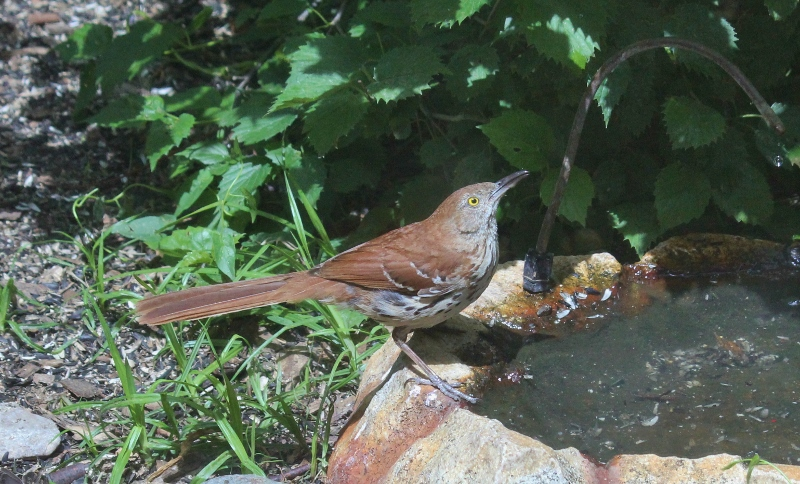 Brown Thrasher at dripper at BSBO (800x484)