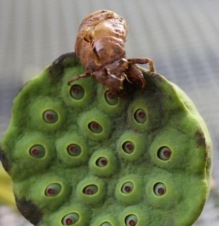 Cicada exoskeleton on lotus seed head (771x800)