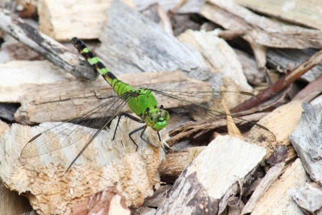 Eastern Pondhawk female at BSBO (800x534)