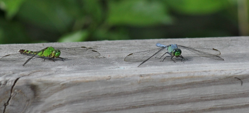 Eastern Pondhawk - female on left and immature male on right (800x363)
