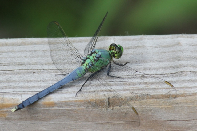 Eastern Pondhawk - immature male close crop (800x533)
