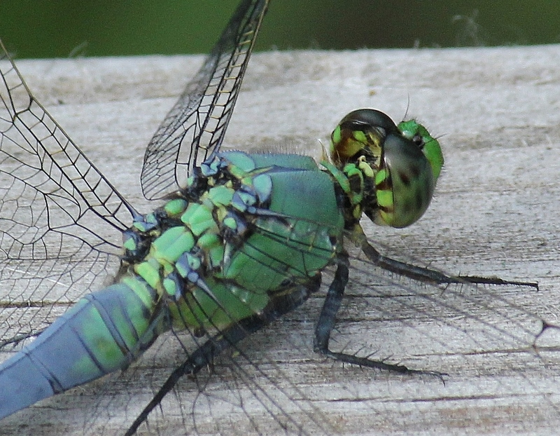Eastern Pondhawk - immature male - close crop of thorax detail and back of head (800x622)