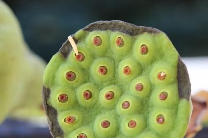 Lotus flower seed pod (1) (800x533)