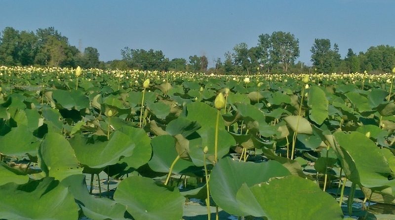 Lotus flowers on Toussaint River (800x446)