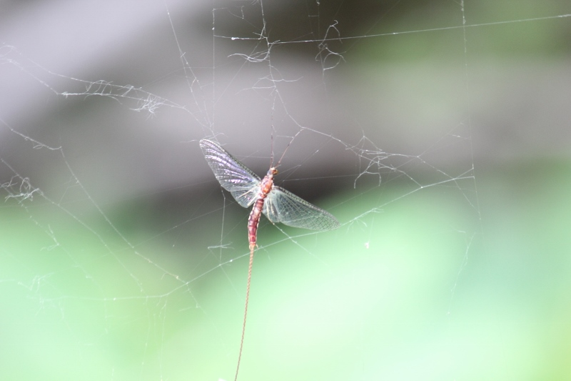 Mayfly in spiderweb (800x533)