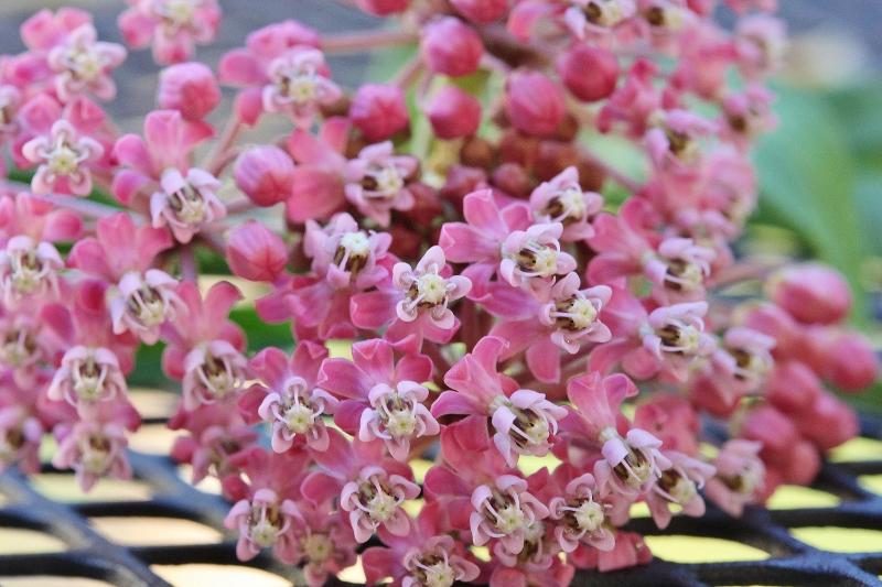 Swamp milkweed flowers from my yard - macro (2) (800x533)
