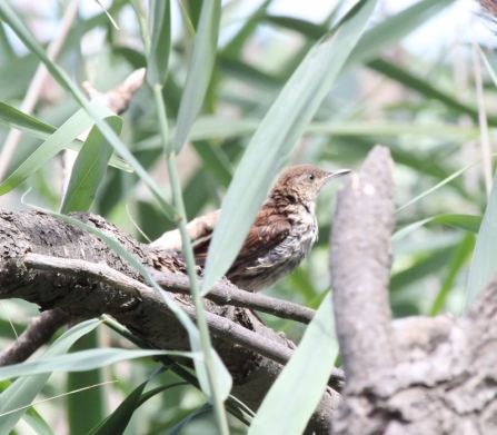 Brown Thrasher (800x701)
