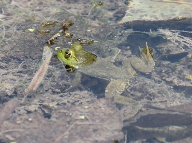 Bullfrog in water (2) (800x597)