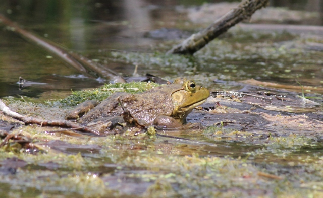 Bullfrog in water v2