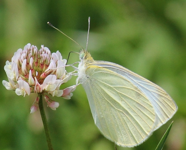 Cabbage White butterfly on clover flower at Blue Heron Reserve (2) (800x644)