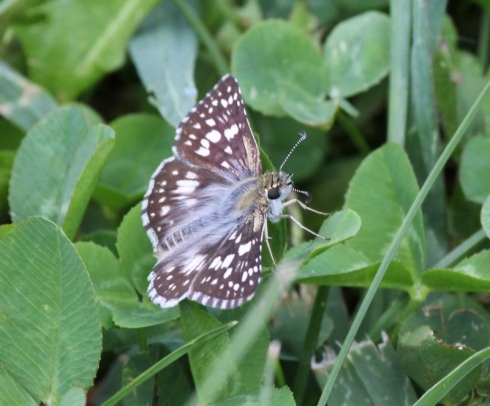 Common Checkered Skipper best shot (800x663)