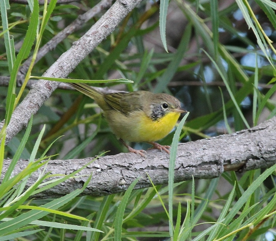 Common Yellowthroat - fall immature male