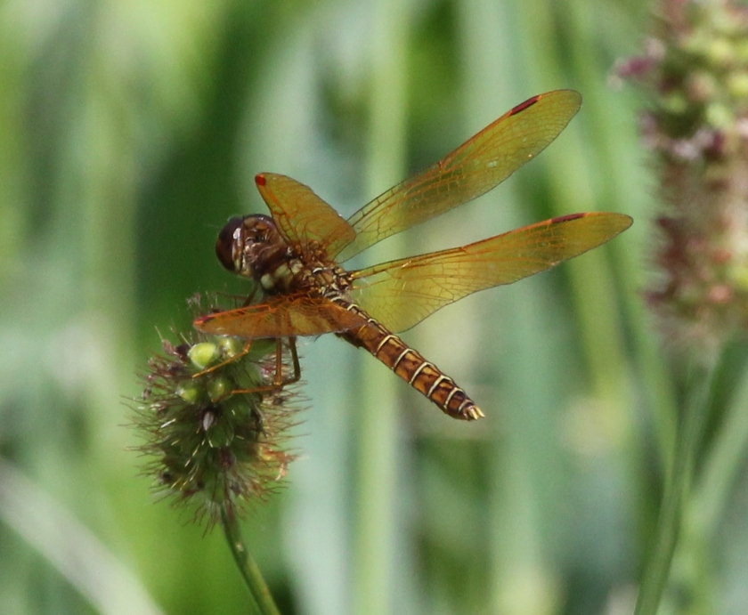 Eastern Amberwing - close crop
