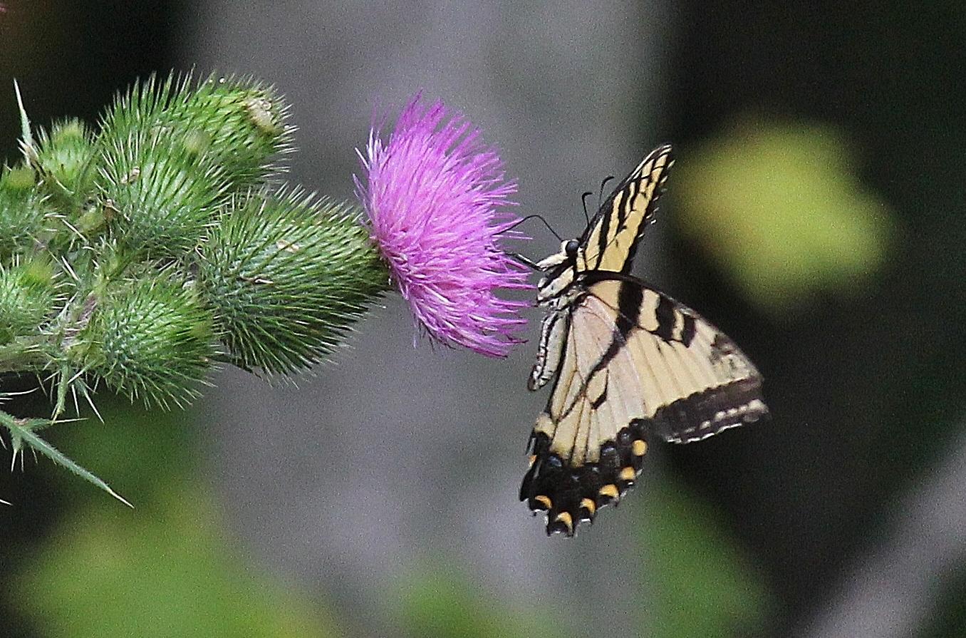 Eastern Tiger Swallowtail butterfly (42)
