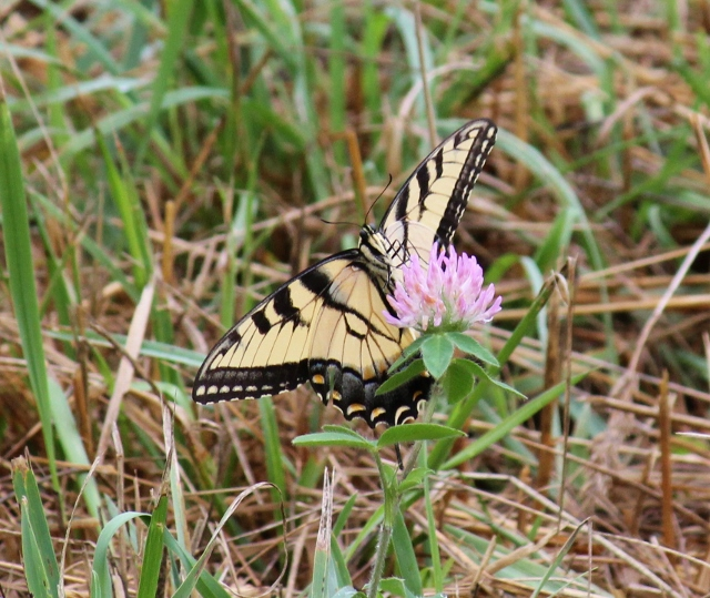 Eastern Tiger Swallowtail butterfly (5) (640x539)