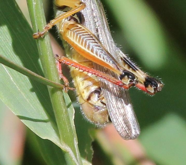 Grasshopper showing back leg specialized joints (717x635)
