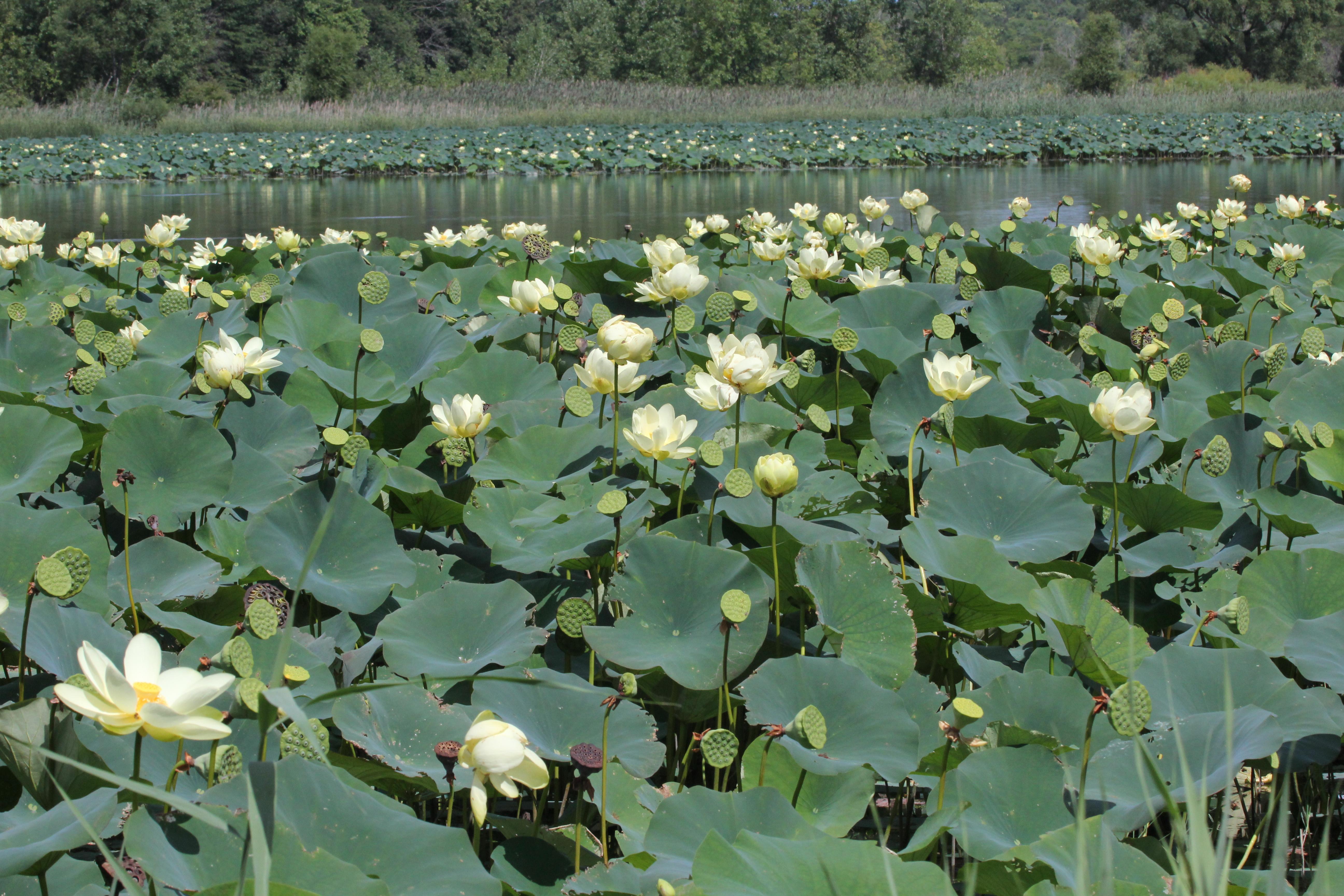 Lotus flowers in bloom at Meadowbrook v2