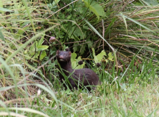 Mink at Blue Heron Reserve (2) (800x592)