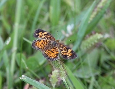 Pearl Crescent butterfly -Phycoides tharos v2