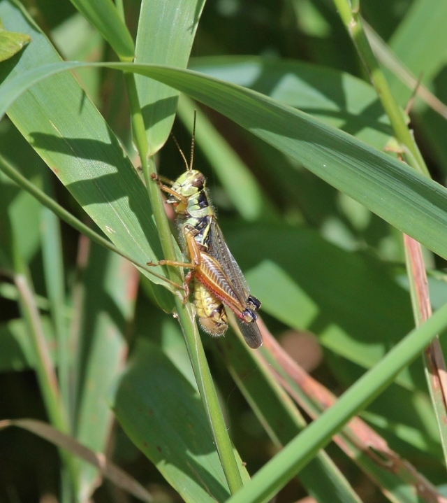 Red-legged Grasshopper - I think (712x800)