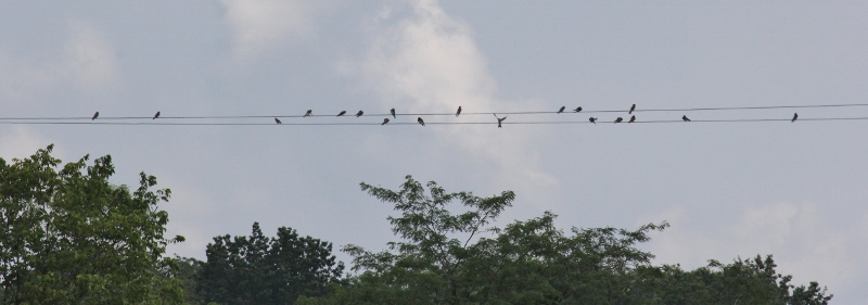 Swallows staging for migration (800x281)