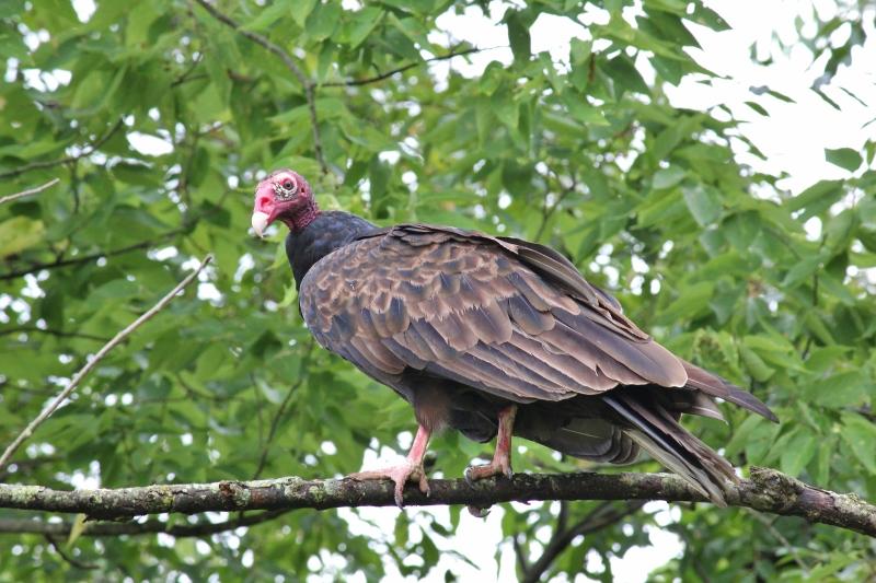 Turkey Vulture in a tree