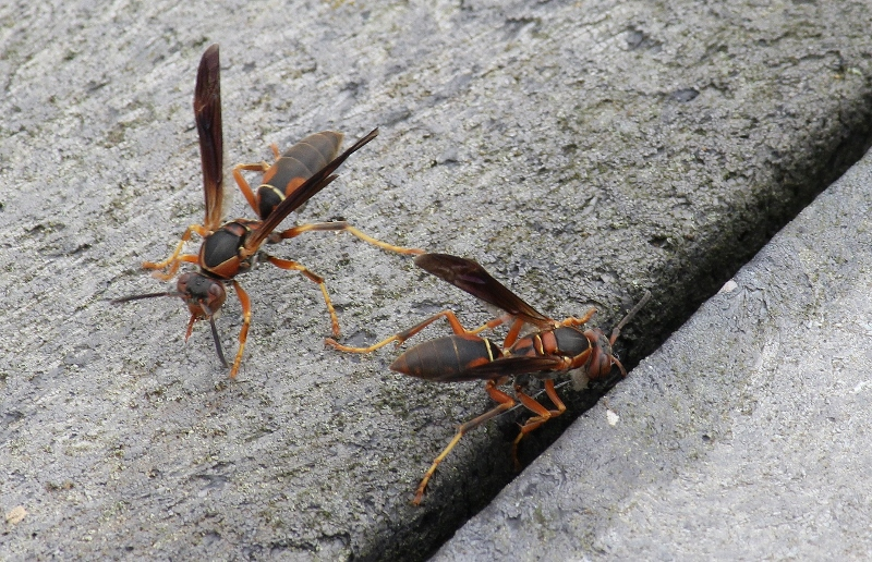 Wasps to ID (800x516)