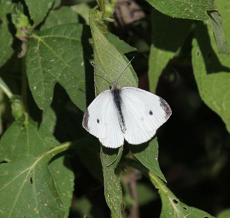 Cabbage White - Pieris rapae (800x759)