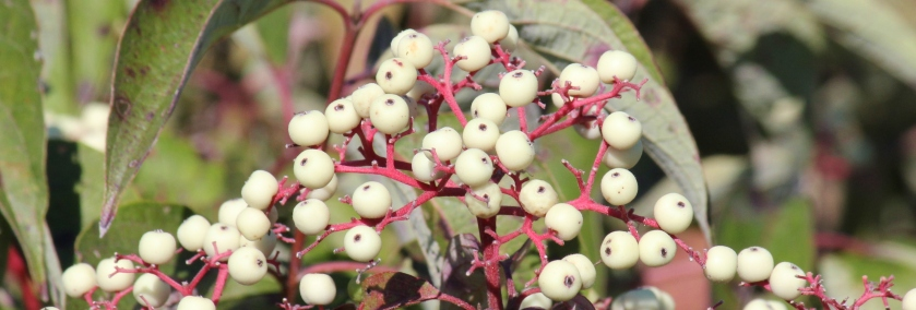 Either Gray Dogwood or Red Osier Dogwood