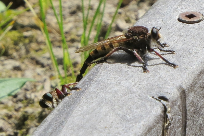 Red-footed Cannibal Fly - 2 of them (800x535)