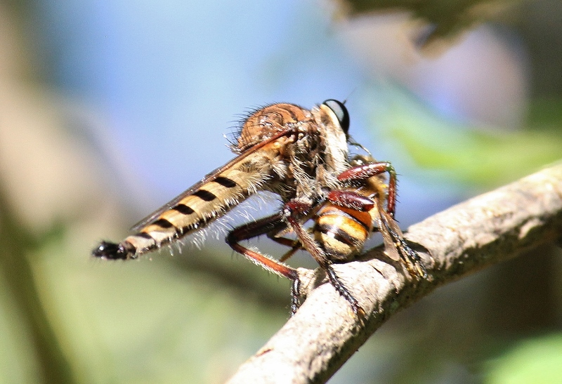 Robber Fly - maybe Red-footed Cannibal Fly - promachus genus (800x547)