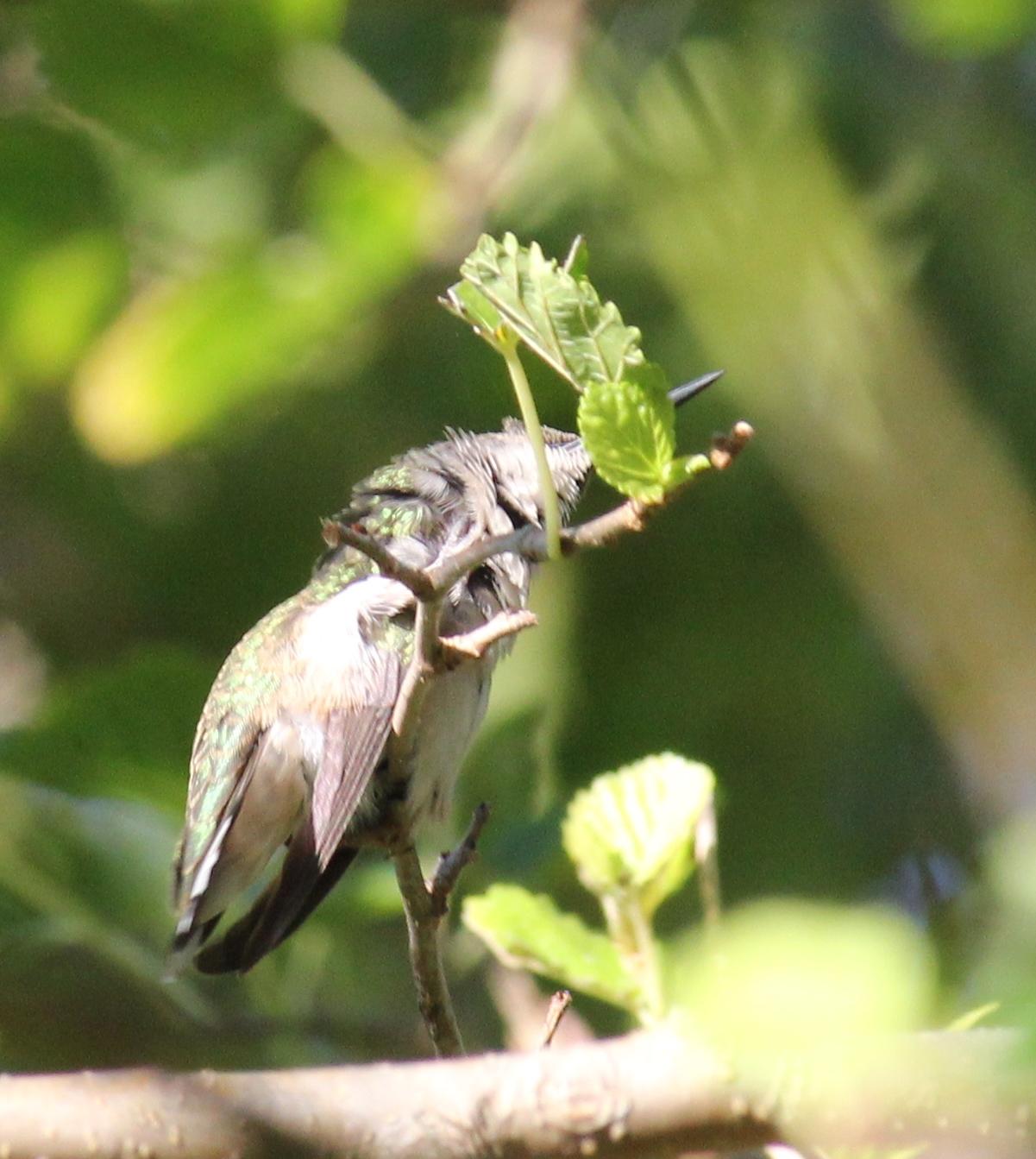 Ruby-throated hummingbird preening with foot