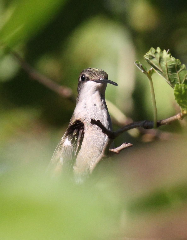 Ruby-throated hummingbird v3
