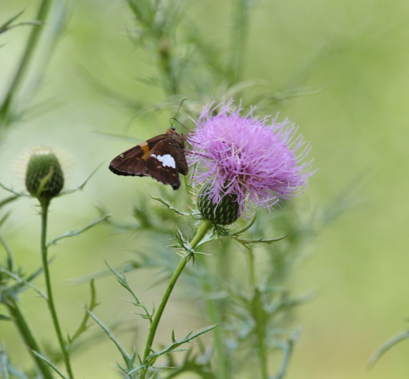 Silver-spotted Skipper on thistle (800x741)