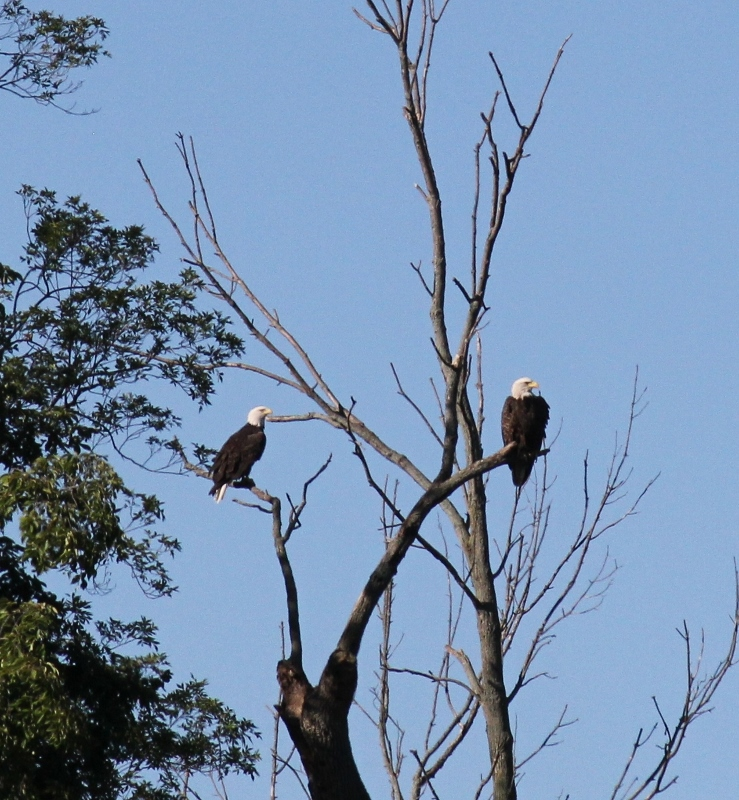 bald-eagles-in-tree-739x800
