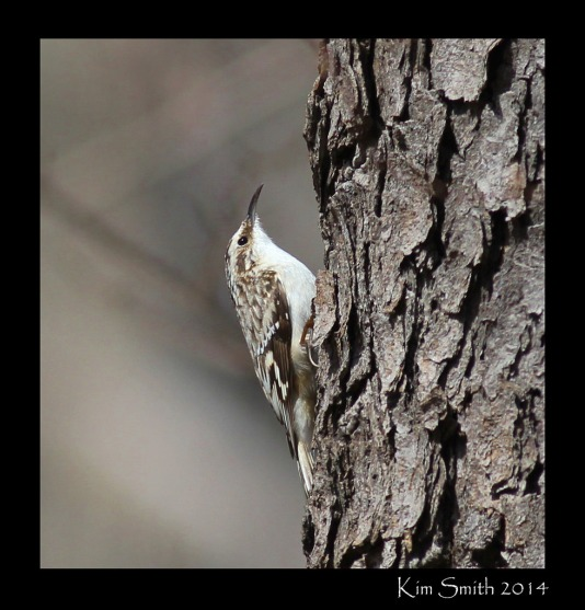 brown-creeper-at-stony-creek-w-sig-4-17-14