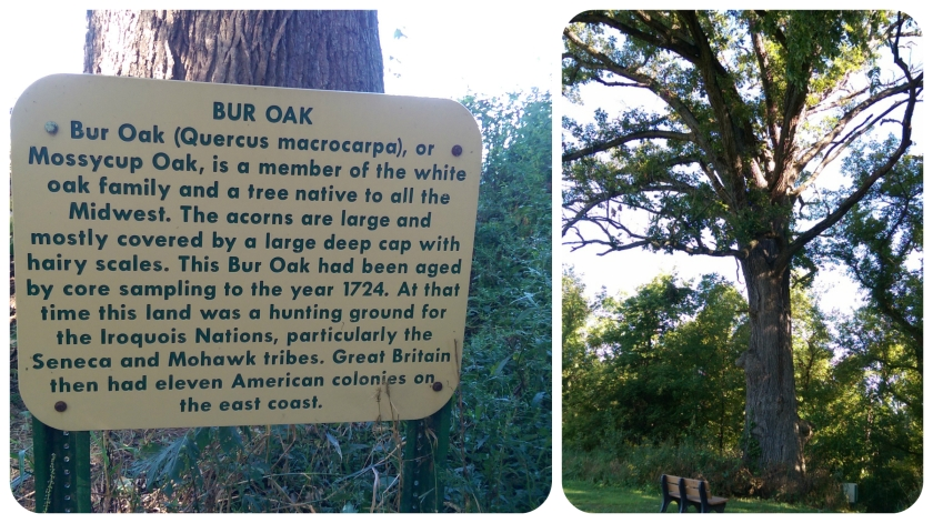 bur-oak-collage