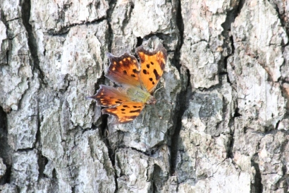 eastern-comma-butterfly-on-bur-oak-tree-800x533