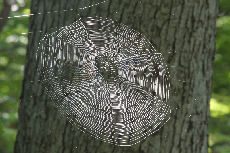 spiderweb-big-one-in-sunlight-1-800x533