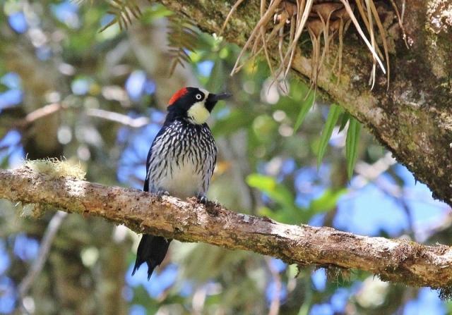 acorn-woodpecker-800x559