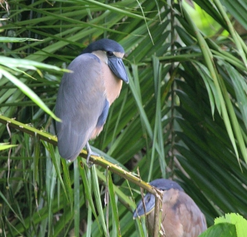 boat-billed-heron-800x768