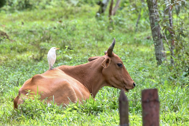 cow-and-cattle-egret-800x533
