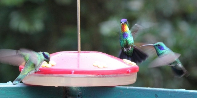 fiery-throated-hummingbird-and-lesser-violetears-800x398