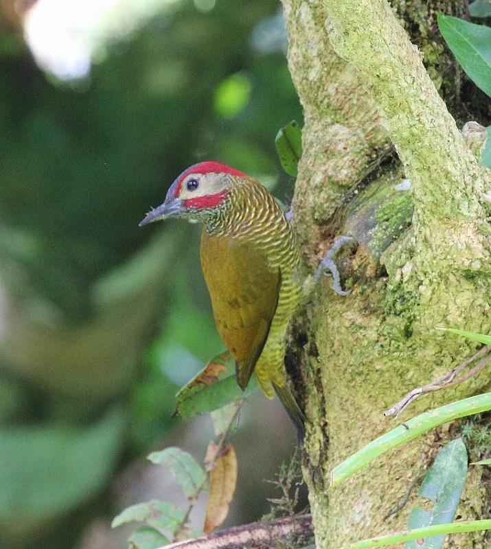 golden-olive-woodpecker-715x800